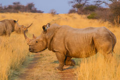 Rhino (Rhinocerotidae) at Sunset Stock Photos