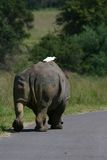 Rhino on the road. White rhinoceros walking lonely on tar road with white bird on his back stock image