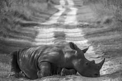 Rhino on the Road. Big rhino on the road Royalty Free Stock Images