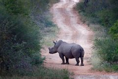 Rhino on the road in forest habitat. White rhinoceros, Ceratotherium simum, with cut horns, in the nature habitat, Kruger National stock images