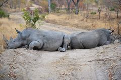 Rhino Roadblock in South Africa stock photography
