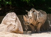 Rhino with a rock. In the park royalty free stock photography