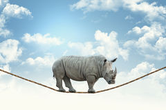 Rhino on rope. Huge rhino walk on rope royalty free stock photo