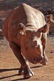 Rhino run. A critically Endangered Black Rhino on the run Royalty Free Stock Photography