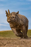 Rhino. A running rhino in full speed stock photography
