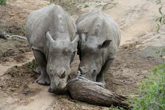 Rhino`s couple pushing a tree on a road in the Savanna. – South Africa Royalty Free Stock Photo