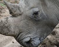 Rhino`s detail in the Savanna. – South Africa Royalty Free Stock Photography