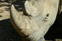 Rhino horn. Rhino`s horn is a Rhino`s life royalty free stock images