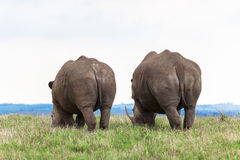 Rhinos Rear Outline. White Rhinos Mother and Cub of a year plus eating grass side by side in the morning winter sun. Photo image captured with telephoto lens of Royalty Free Stock Image