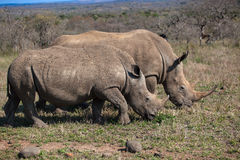 Rhinos Mother Youngster Wildlife. White Rhinos Mother and Cub of a year plus eating grass side by side in the morning winter sun. Photo image captured with Stock Photo