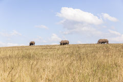 Rhino's Wildlife Royalty Free Stock Images