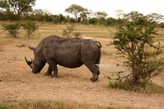 Rhino in Sabi Sand, South Africa Royalty Free Stock Photography