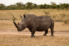 Rhino in Sabi Sand, South Africa stock photography