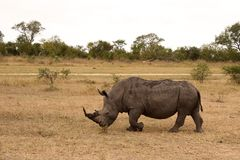Rhino in Sabi Sand, South Africa Royalty Free Stock Image
