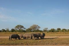 Rhino in Sabi Sand, South Africa Royalty Free Stock Photos