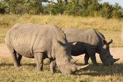 Rhino in Sabi Sand, South Africa Stock Image