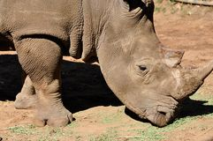 Rhino safari Royalty Free Stock Image