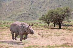 Rhino, Safari, Walk, Jump Royalty Free Stock Photo