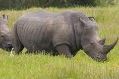 Rhino in the savannah Stock Photography