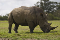 Rhino in the savannah Royalty Free Stock Image