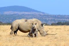 Rhino on savannah in Africa. Rhino on savannah in National park of Africa royalty free stock photo