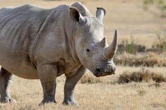 Rhino on savannah in Africa. Rhino on savannah in National park of Africa stock image