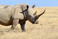 Rhino on savannah in Africa. Rhino on savannah in National park of Africa royalty free stock photos