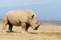 Rhino on savannah in Africa. Rhino on savannah in National park of Africa royalty free stock image
