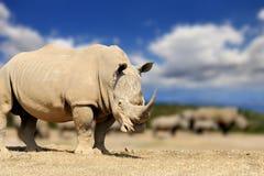 Rhino on savannah in Africa. National park of Kenya royalty free stock photo