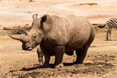 Rhino in the savannah. A white Rhinoceros laying calm and relaxed in the Savannah royalty free stock image