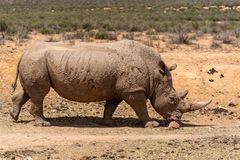 Rhino in the savannah. A white Rhinoceros laying calm and relaxed in the Savannah stock photo