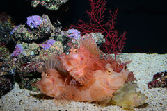 Rhino scorpionfish, reef fish, marine fish Royalty Free Stock Photos