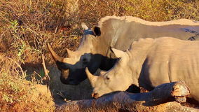 Rhino scratching itself on a log 1 stock video footage