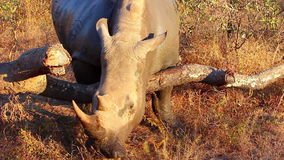 Rhino scratching itself on a log 2 stock video footage