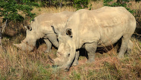 Rhino Siblings Royalty Free Stock Photo