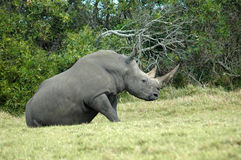Rhino sitting Stock Photo