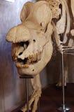 Rhino skeleton Royalty Free Stock Image