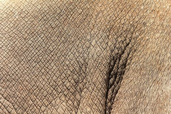 Rhino skin texture Royalty Free Stock Images