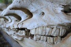 Rhino skulls Royalty Free Stock Image