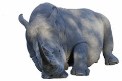 Rhino sleeping. A white rhino (Ceratotherium simum) in the Kruger National park. South Africa stock images