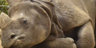 Rhino Sleeping stock images
