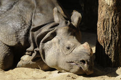 Rhino sleeping Royalty Free Stock Photography