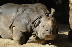 Rhino sleeping Stock Photos