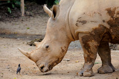 Rhino and small bird Royalty Free Stock Photo