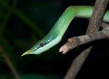 Rhino Snake Royalty Free Stock Images
