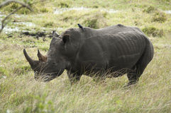 Rhino in South Africa Royalty Free Stock Photo