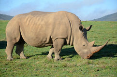 Rhino Stock Photo
