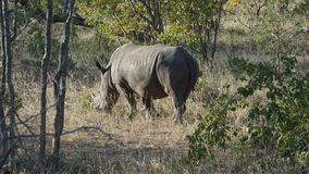 A Rhino in South Africa Royalty Free Stock Image