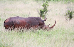 Rhino in South Africa. Rhino in savannah, South Africa Royalty Free Stock Photography