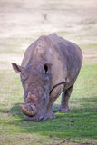 Rhino , South Africa Royalty Free Stock Images